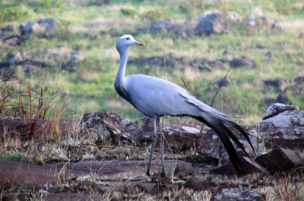 blue-crane-in-our-garden