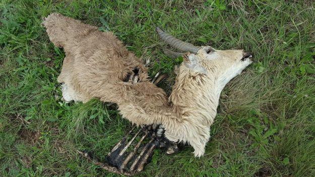 dead-male-reedbuck