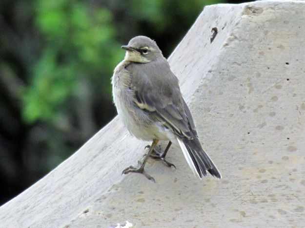 fledgeling-cape-wagtail