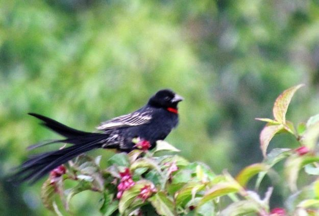 red-collared-whydah-male
