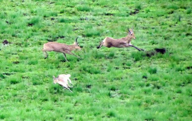 reedbuck-chase