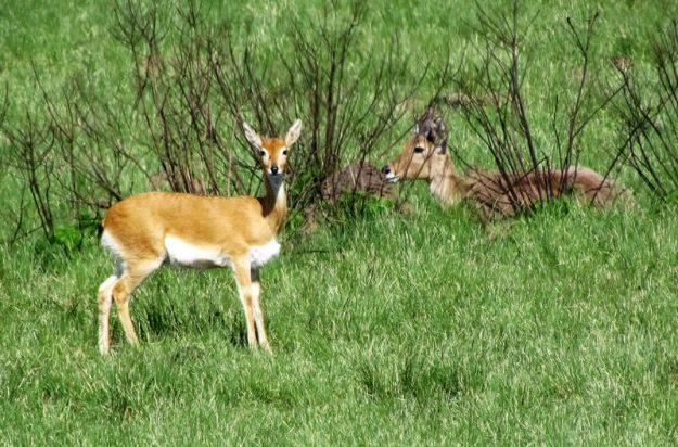 reedbuck-hidden-in-bush-behind-oribi