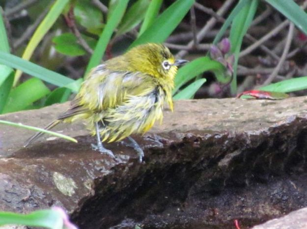 wet-bedraggled-white-eye-after-swim