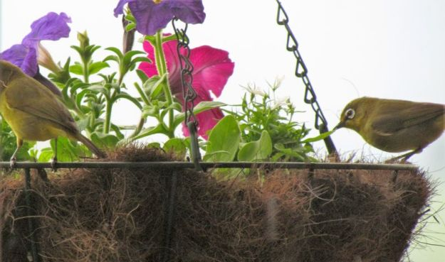 a-pair-of-cape-white-eyes-pulling-coir-from-hanging-basket-to-make-their-nest