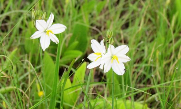 anthericum-possibly-angulicaule-thanks-nikki-brighton