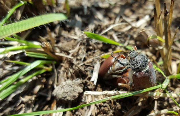 beetles-mating-in-the-grass