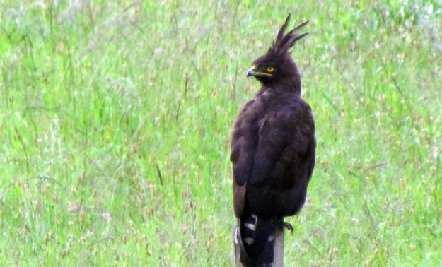 black-crested-eagle-always-around