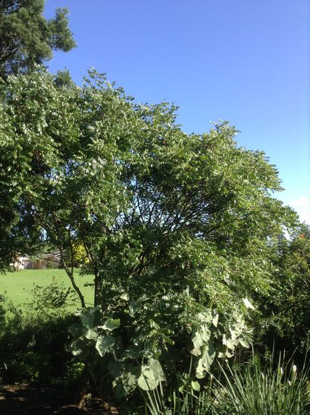 clausena-anisata-a-neat-small-tree-for-the-bird-garden-some-swallowtail-butterflies-breed-on-this-tree