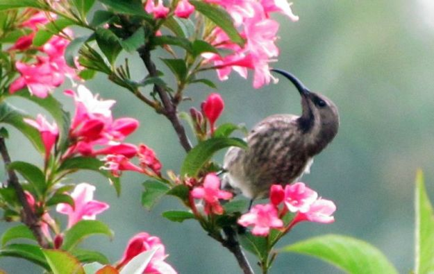 female-amythest-sunbird-feeding-off-wygelia-flowers
