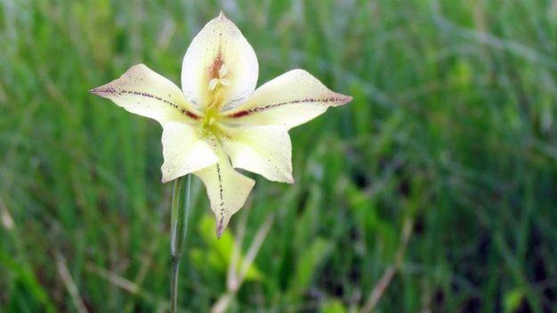 gladiolus-longicollis