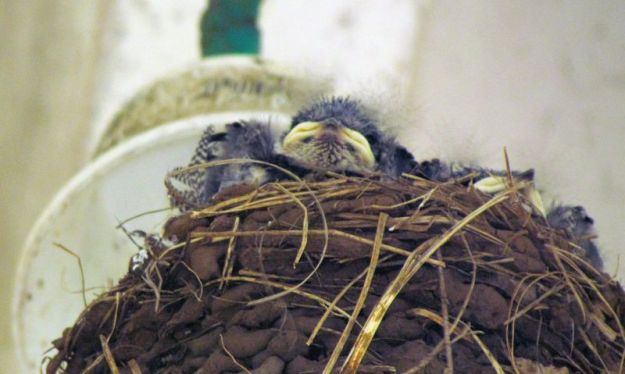 i-think-there-are-4-white-throated-swallow-chicks-in-their-mud-nest-on-verandah