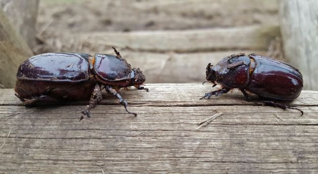 large-rhino-beetles