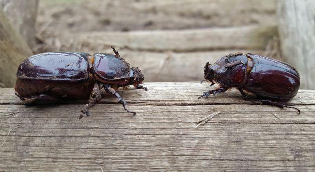 large-rhino-beetles