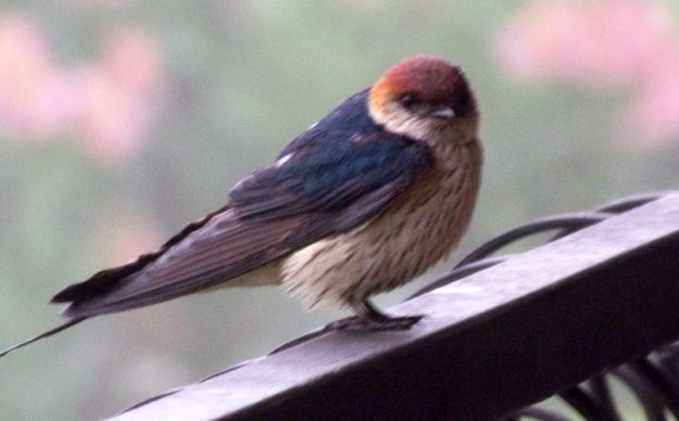 lesser-striped-swallow-perching-on-balustrade
