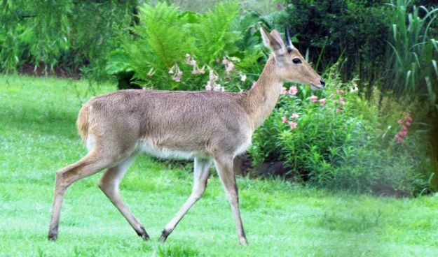 male-reedbuck-wandering-through-our-garden