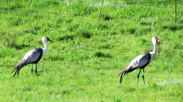 pair-of-wattled-crane-tag-on-wattled-crane-white-on-one-leg-and-green-and-blue-on-the-other