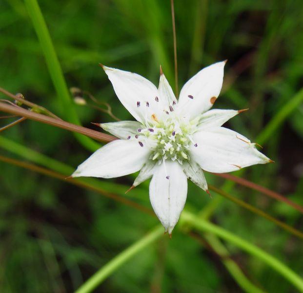 r-alepidea-natalensis