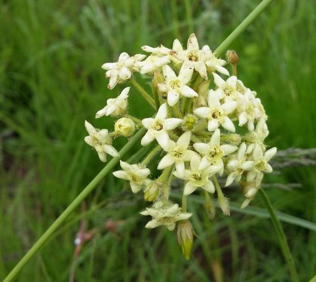 r-sisyranthus-trichostomus