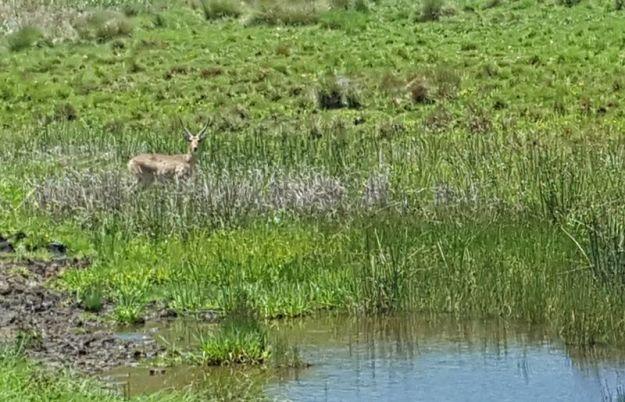 reedbuck-ram-standing-next-to-little-dam