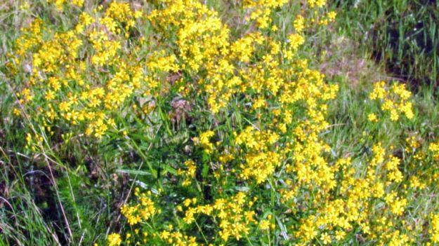 senecio-bupleuroides-yellow-starwort