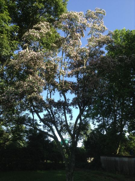 the-pom-pom-tree-dais-cotinifolia-this-is-an-especially-large-specimen-on-our-property
