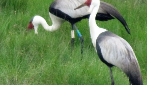 wattled-crane-with-tags
