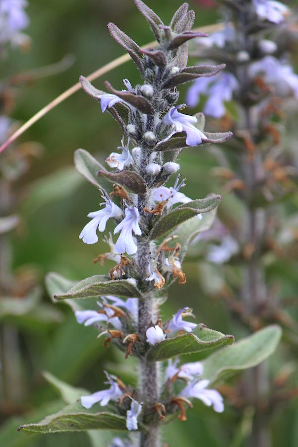 03-flowers-adjuga-ophrydis-img_7376