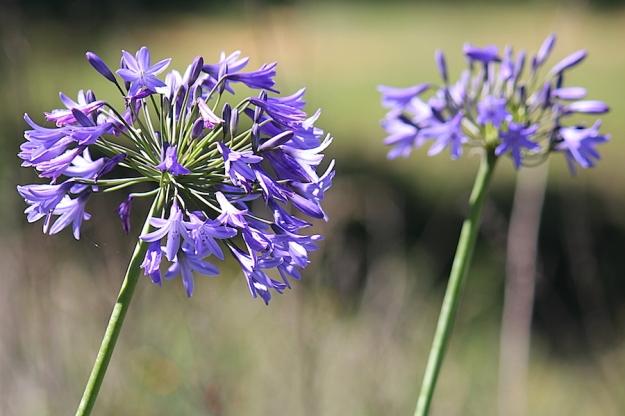 03-flowers-agapanthus-campanulatus-img_7563
