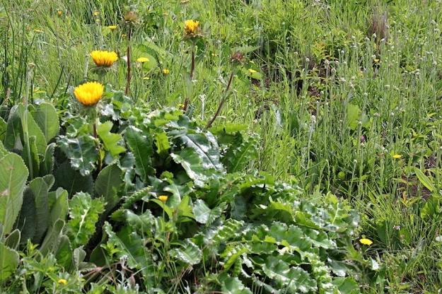 03-flowers-berkheya-macrocephala-img_7356