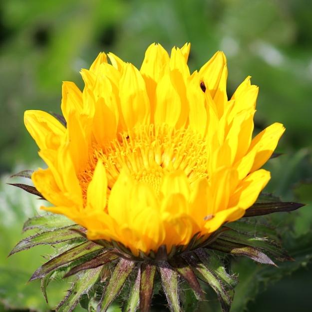03-flowers-berkheya-macrocephala-img_7358