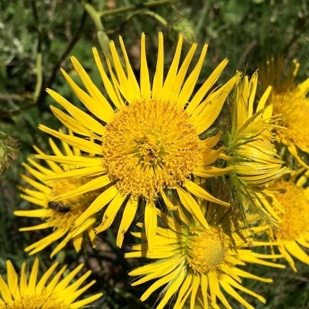 03-flowers-berkheya-setifera-img_3806
