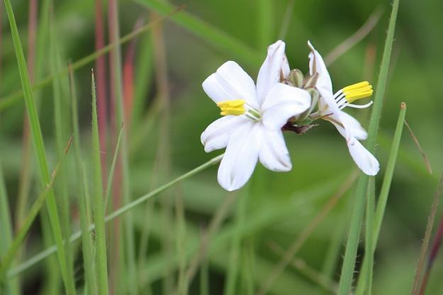 03-flowers-chlorophytum-cooperi-img_7322