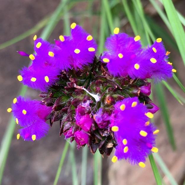 03-flowers-cyanotis-speciosa-img_3314