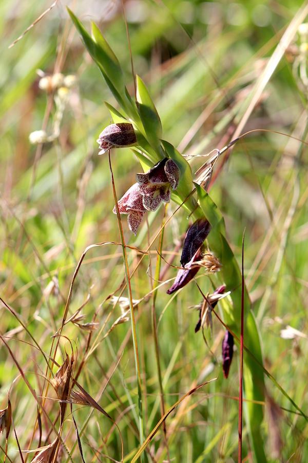 03-flowers-gladiolus-ecklonii-img_7546