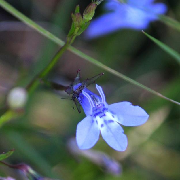 03-flowers-lobelia-erinus-img_7538