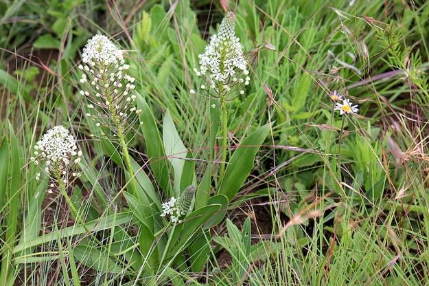 03-flowers-merwilla-nervosa-img_7397