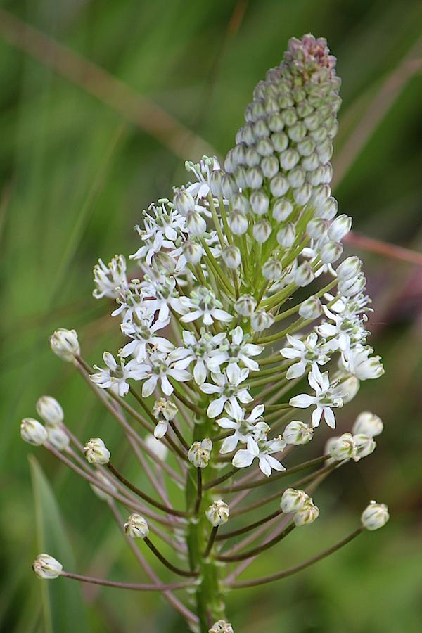 03-flowers-merwilla-nervosa-img_7398