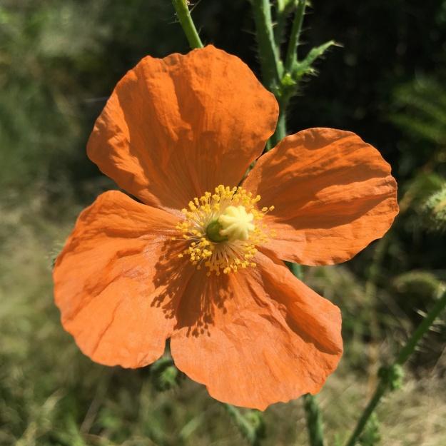 03-flowers-papaver-aculeatum-img_3509