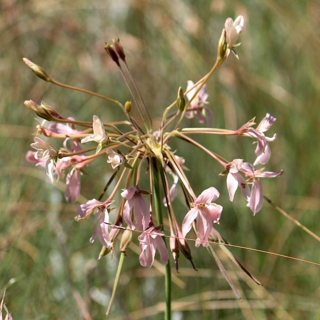 03-flowers-pelargonium-luridum-img_7566