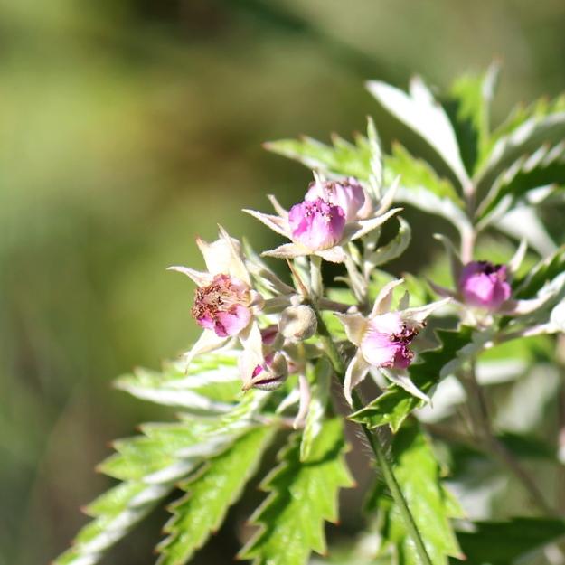 03-flowers-rubus-ludwigii-img_7539