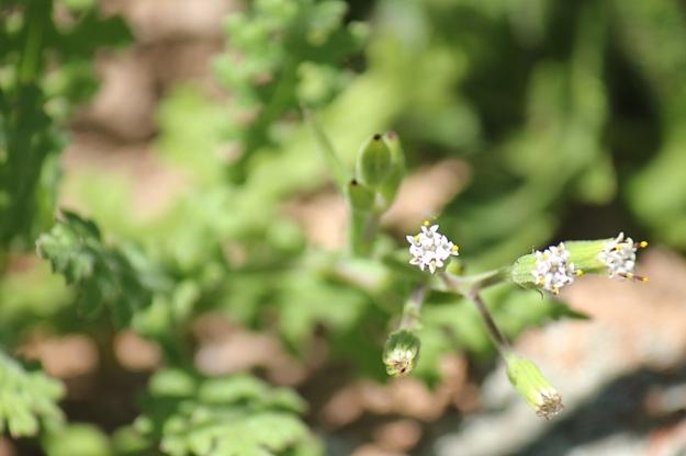 03-flowers-senecio-subrubriflorus-img_7549