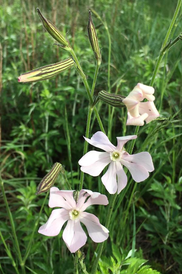 03-flowers-silene-bellidoides-img_3277