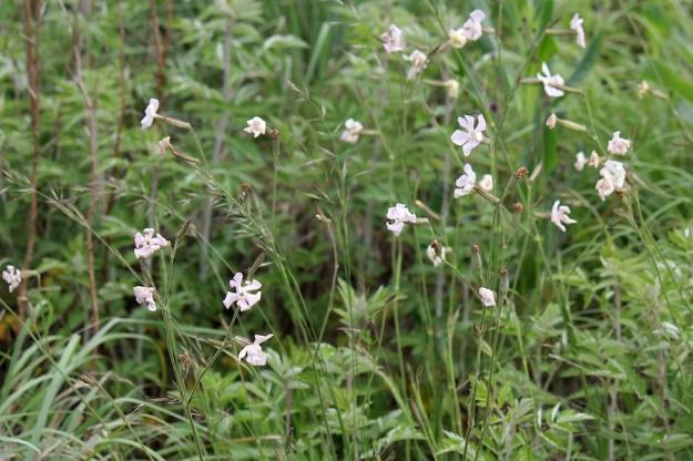 03-flowers-silene-bellidoides-img_7326