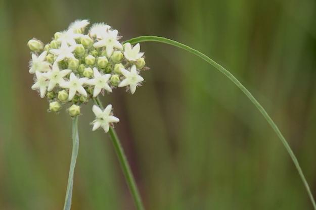 03-flowers-sisyranthus-trichostomus-img_7323