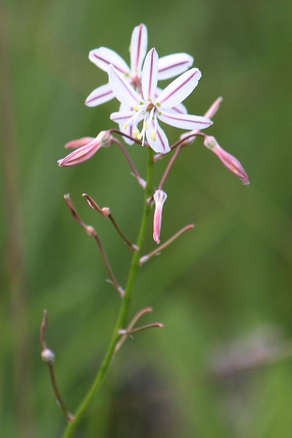 03-flowers-trachyandra-asperata-img_7378
