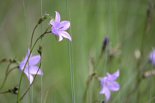 03-flowers-wahlenbergia-cuspidata-img_7368