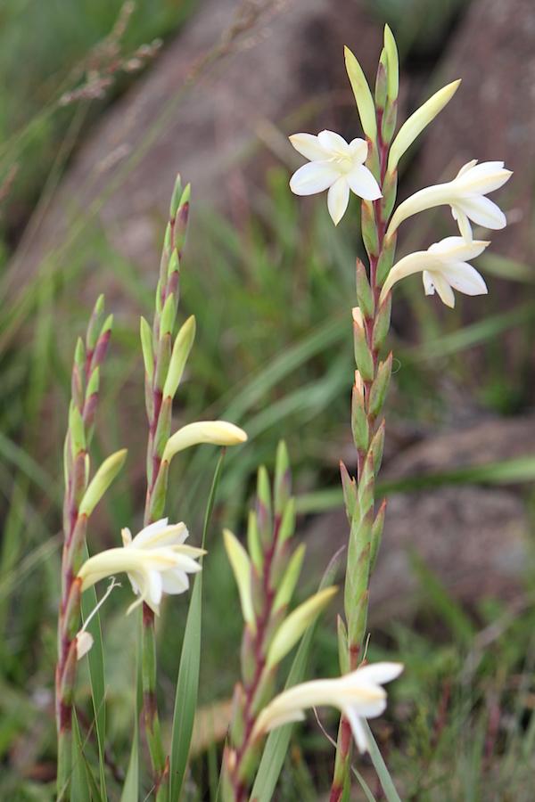 03-flowers-watsonia-meriana-img_7345