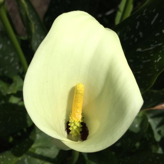 03-flowers-zantedeschia-albomaculata-img_3502