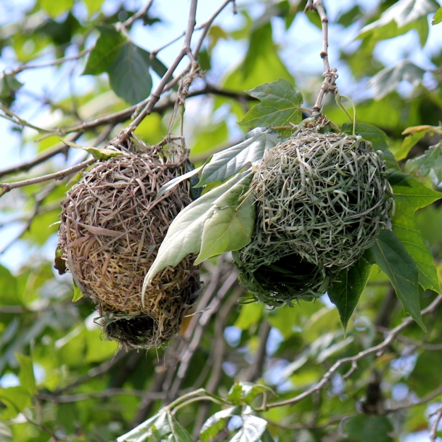 04-birds-spectacled-weaver-nests-img_7312