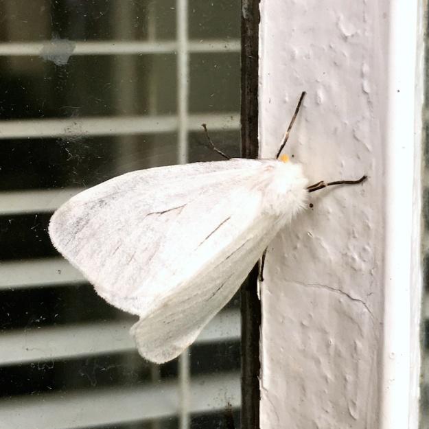 05-invertebrates-moth-img_3989